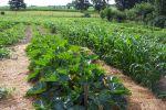 LHF zucchini